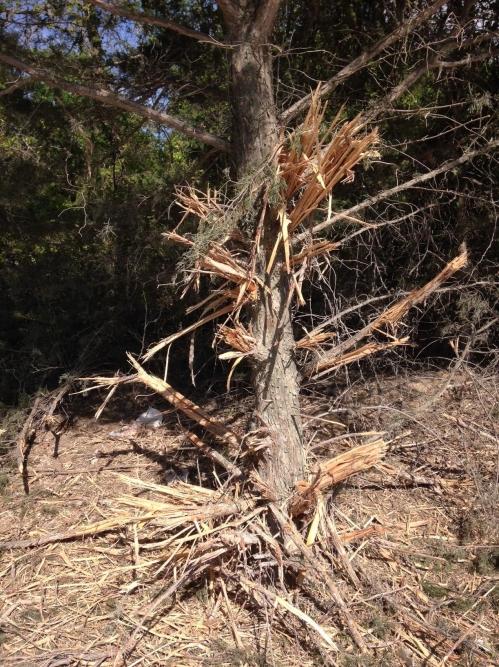 IMG_2132 shamed cedar